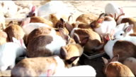 Feeding rabbits on animal farm, Cute rabbit herd while eating in farm
