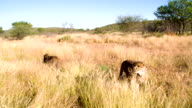 LS ZI Feeding The Leopards