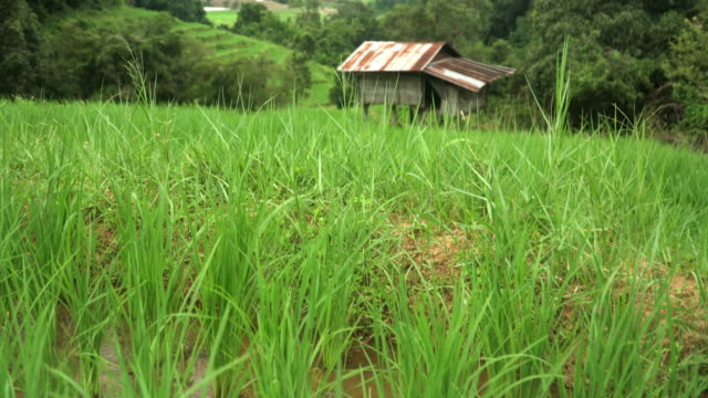 känna sig lycklig om du bor i ett litet hem på Pa Pong Pieng terrasserade risfält