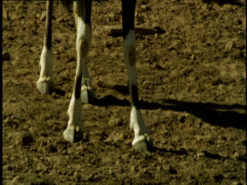 Feet of oryx as it walks towards camera then drinks from pool, Namibia