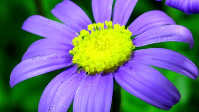 Felicia amelloides - Blue daisy