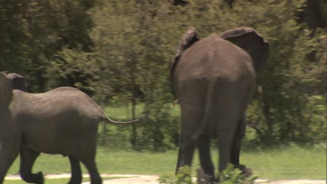 Female African Bush Elephant walking quickly on grassy plain of Okavango Delta male elephant giving chase behind Wildlife mating season heat aka...
