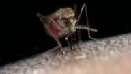 Female Anopheles gambiae feeding on human blood.
