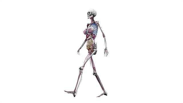 'Female body with organs, walking'