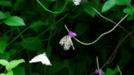 Weibliche Schmetterling odoriferous, um male