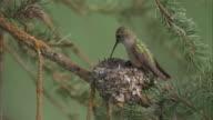 Female calliope hummingbird (Stellula calliope) leaves chicks in nest, Yellowstone, USA