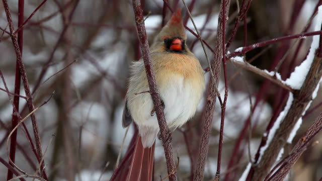 Female cardinal puffing feathers