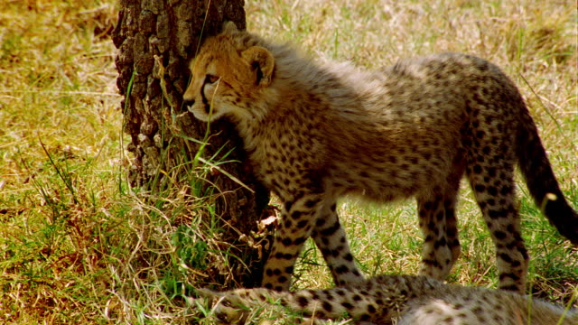 MS PAN Female cheetah and two cubs resting under shade of tree / Masai Mara, Kenya