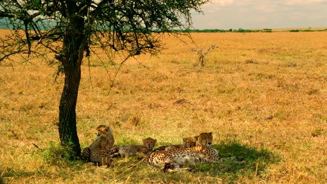 WS Female cheetah and two cubs resting under shade of tree / Masai Mara, Kenya