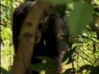 CU, Female chimp (Pan troglodytes) carrying infant on back, Gombe Stream National Park, Tanzania