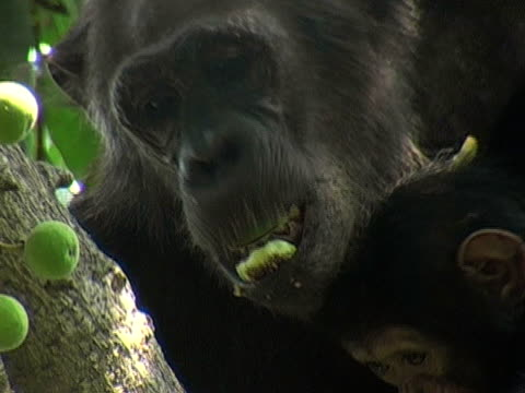 CU, ZO, Female chimp (Pan troglodytes) with infant eating fruits on tree, Gombe Stream National Park, Tanzania