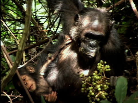MS, Female chimp (Pan troglodytes) with infant eating grapes on tree, Gombe Stream National Park, Tanzania