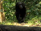 MS, Female chimp (Pan troglodytes) with infant in forest, Gombe Stream National Park, Tanzania