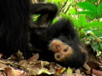 CU, Female chimp (Pan troglodytes) with infant in forest, Gombe Stream National Park, Tanzania