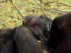 CU, PAN, Female chimp (Pan troglodytes) with two infants, Gombe Stream National Park, Tanzania