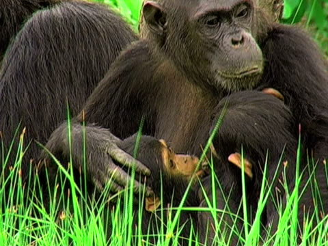 CU, ZI, Female chimp (Pan troglodytes) with two infants sitting in grass, Gombe Stream National Park, Tanzania