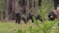 Female chimpanzees gang up against male chimpanzee at refuge