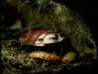 Female cockroach tends babies in underground tunnel