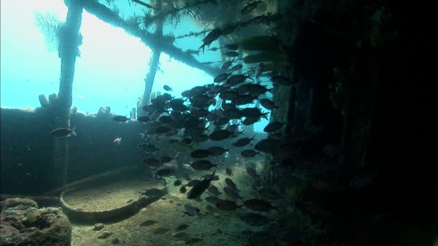 MS, Female diver swimming around shipwreck covered with corals, Saint Lucia