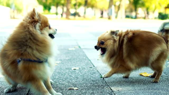 Kvinno-hund försvara från manliga hundens attack