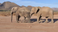 Female elephant pleasures her male elephante mate with her trunk