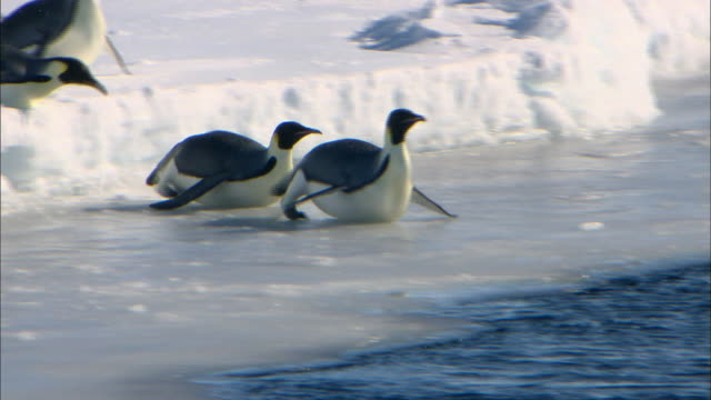 Female Emperor penguins sliding into the sea