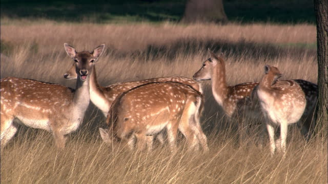 Female fallow deer (Dama dama) graze, Richmond Park, London, UK