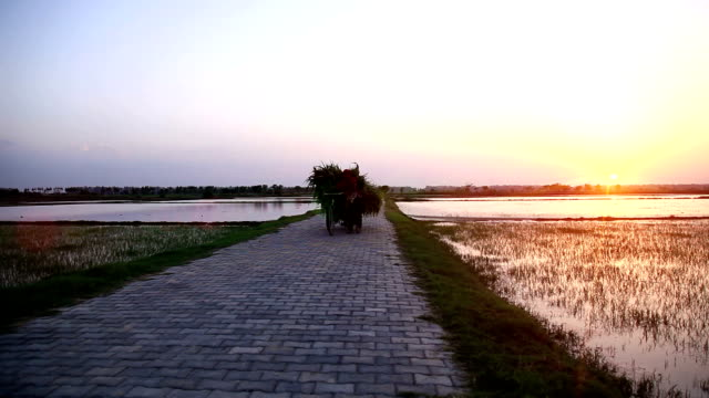 Female farmer carrying sorghum crop on cycle