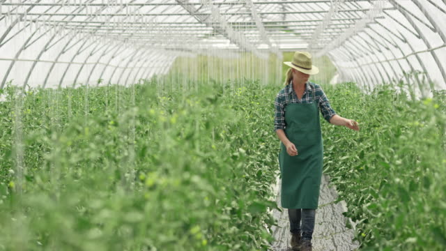 DS Female farmer checking tomatoes in the greenhouse