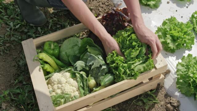 Vrouwelijke boer vullen een houten kist met groenten