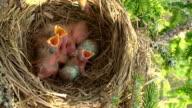 Weibliche Fieldfare (Turdus pilaris) füttern der Chicks
