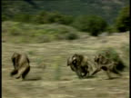 Female Gelada baboons gang up on male and chase him away, Ethiopia