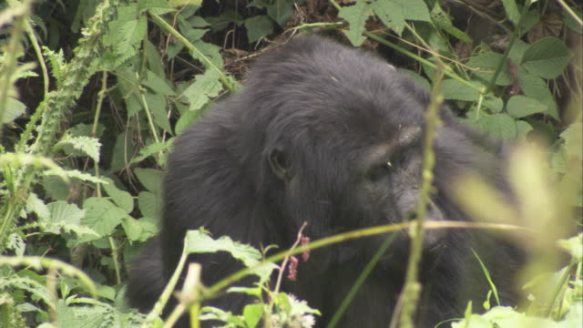 A female gorilla eats while carrying a baby on her back. Available in HD.