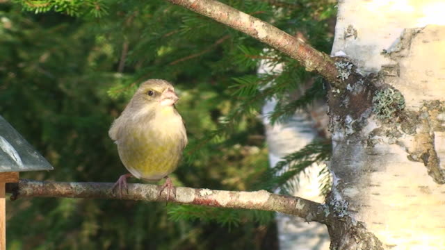 Female Greenfinch on the Branch