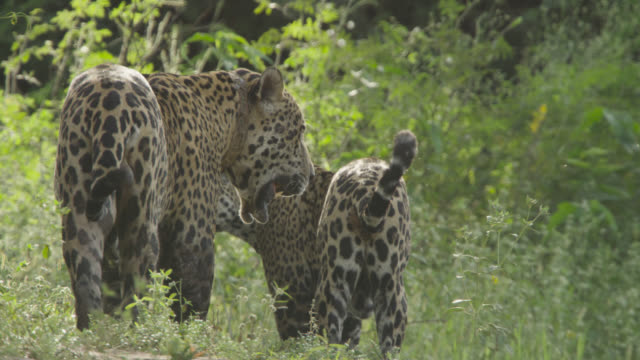 Female jaguar (Panthera onca) snarls at radio collared male as she walks though vegetation.