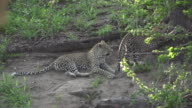 Female leopard and cub, Kruger National Park, South Africa