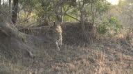 Female leopard descends termite mound towards camera, Kruger National Park, South Africa