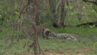 Female leopard greets her cub as it approaches then plays with it in green grass then walks away, Kruger National Park, South Africa