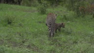 Female leopard grooms cub in open short green grass, Kruger National Park, South Africa