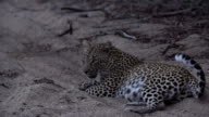 Female leopard grooms herself then looks up, from sandy riverbed, Kruger National Park, South Africa