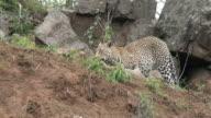 Female leopard grooms small cub on open slope outside den, Kruger National Park, South Africa