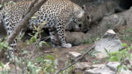 Female leopard grooms two Small cubs as they emerge from rocky den , Kruger National Park, South Africa