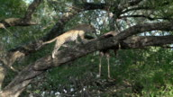 Female leopard in jackalberry tree with impala kill stands up and moves over to kill, Kruger National Park, South Africa