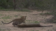 Female leopard initiates mating with male in open sandy patch, Kruger National Park, South Africa