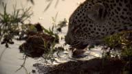 CU female leopard laps up water with golden backlight, Kruger National Park, South Africa