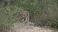 Female leopard looks towards camera from sandbank then moves forward into gap in bushes, Kruger National Park, South Africa