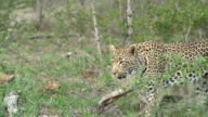 Female leopard moves across grassy area out of frame to left, Kruger National Park, South Africa