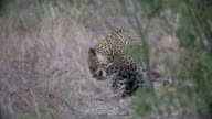 Female leopard moves towards camera down game path, Kruger National Park, South Africa