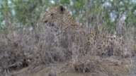 Female leopard on termite mound in the rain, focus pull onto leopard, Kruger National Park, South Africa