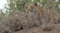 Female leopard on termite mound in the rain, Kruger National Park, South Africa